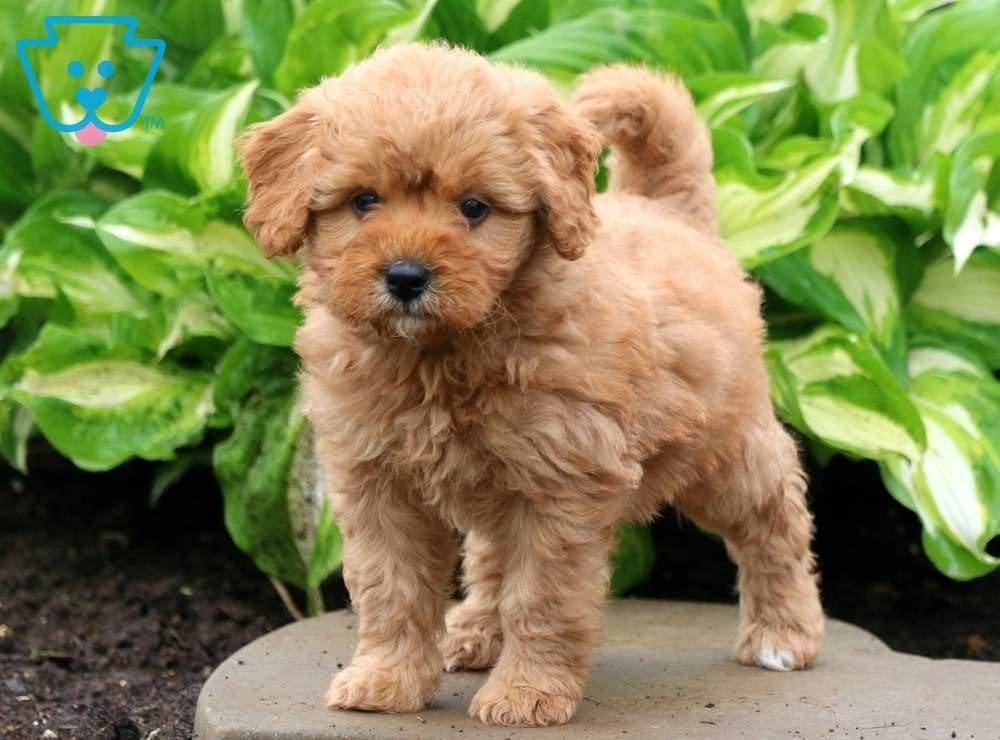 Buttercup Goldendoodle Miniature Puppy For Sale Keystone Puppies Goldendoodle Miniature Miniature Puppies Goldendoodle Puppy