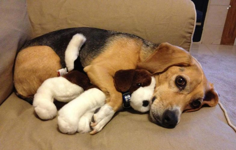 Don T Mind Me I M Just Hugging My Buddy Aaaawwwwww Beagle