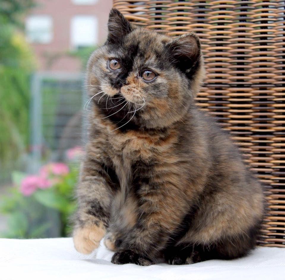 Pin On British Cats
