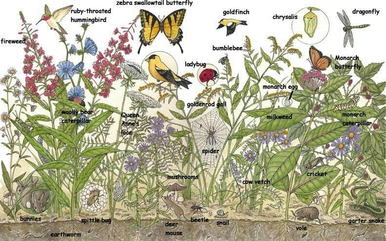 Ne American Meadow Wildlife Goldenrod Flower American Meadows Plant Adaptations