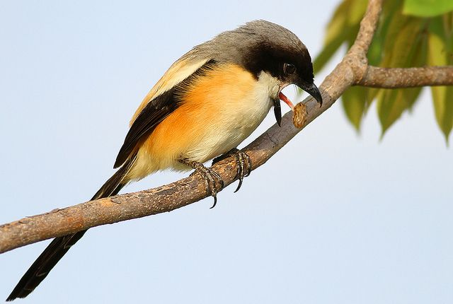 A Long Tailed Shrike Jettison Its Unwanted Food Remains In A Form