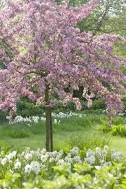 Prunus Pink Perfection One Of Many Possible Cherry Tree Varieties Suitable For Smallish Gardens Will Grow To A Max Of Dream Garden Plants Flowering Trees
