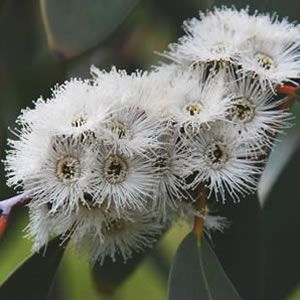 Flowering gum snowflake wow but i dont think it will be around flowering gum snowflake wow but i dont think it will be around mightylinksfo