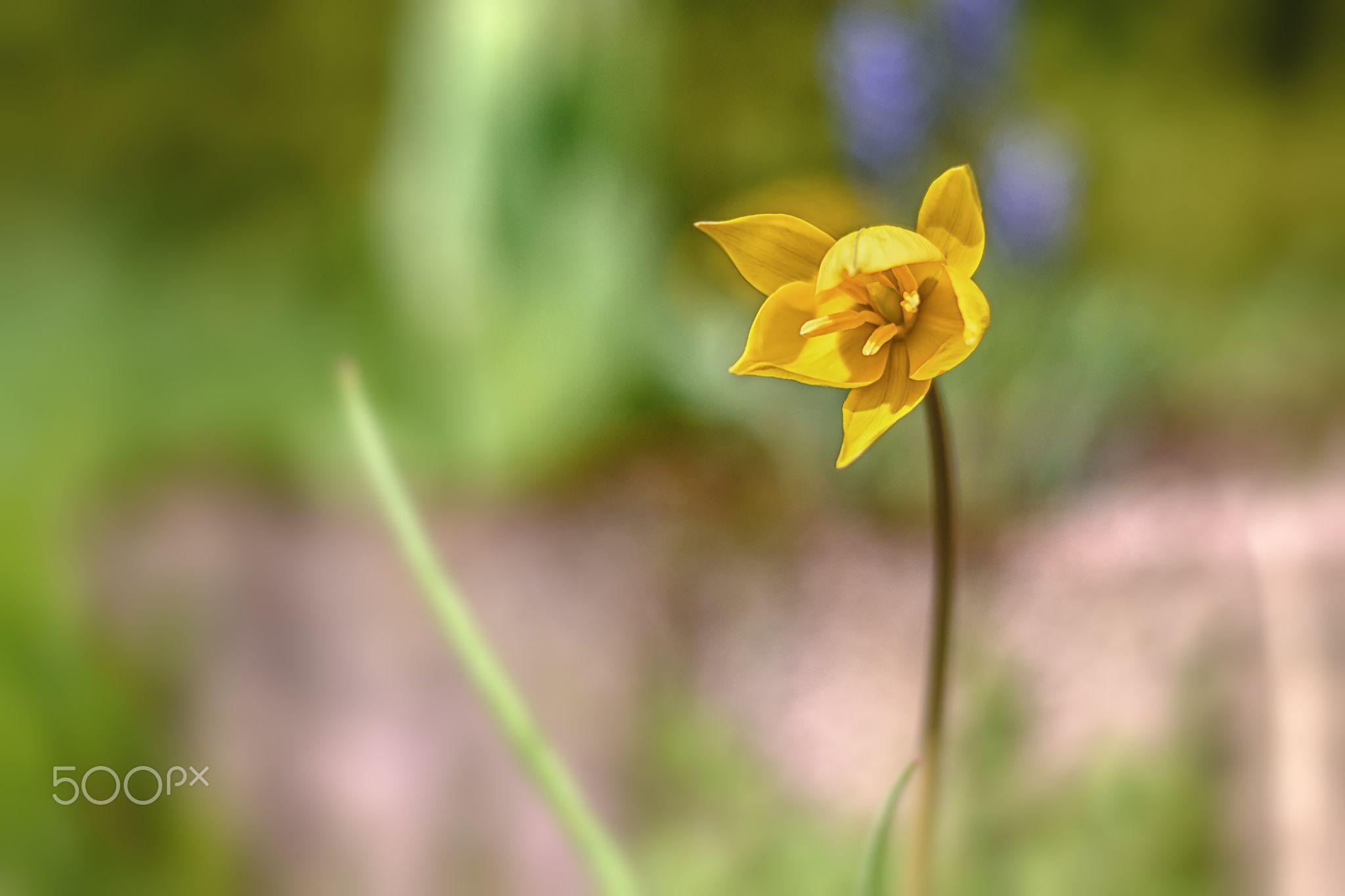 Tulipa - null