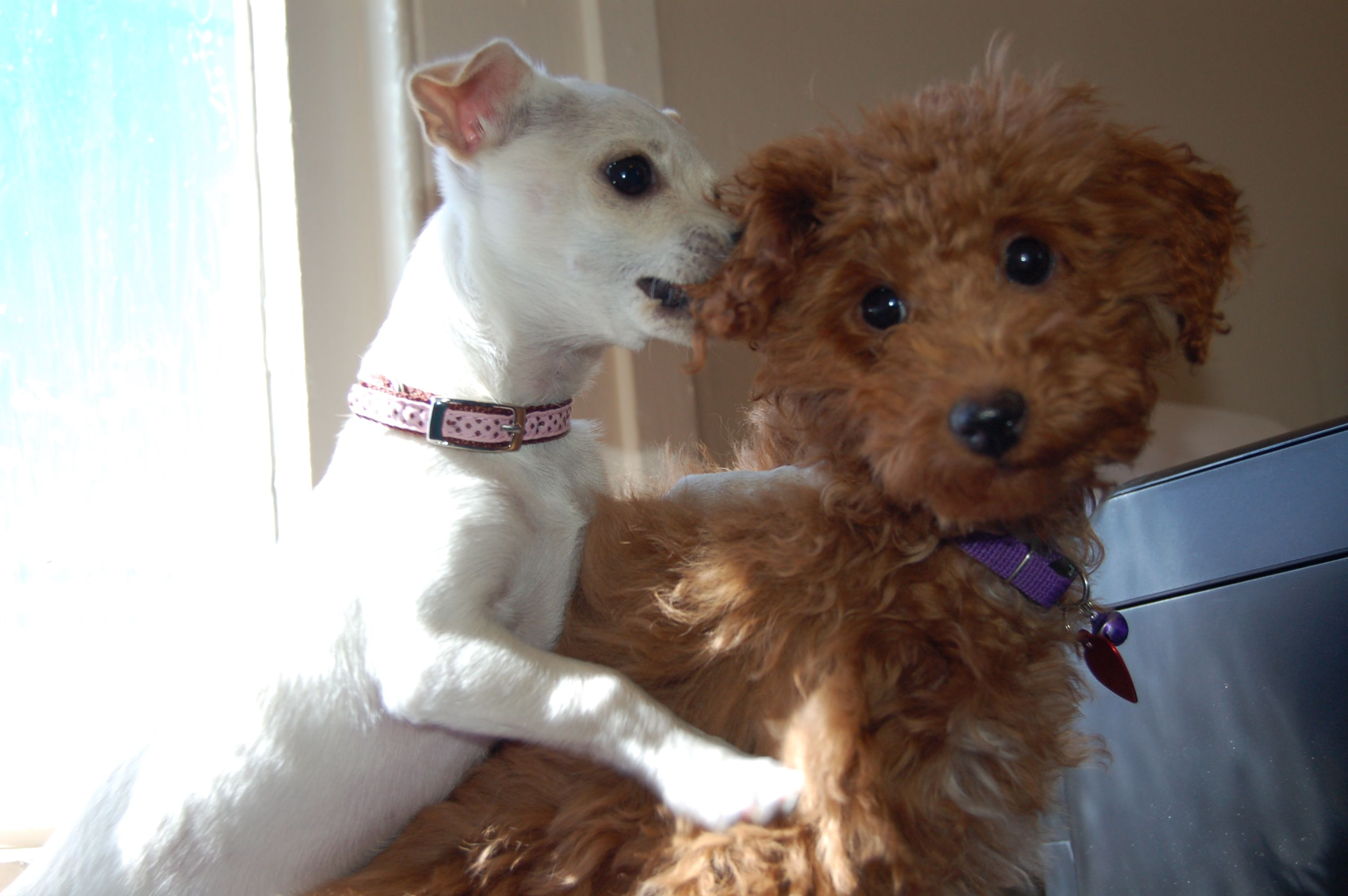 Romeo Toy Poodle Toulouse Chihuahua Mix Toy Poodle Chihuahua Mix Poodle