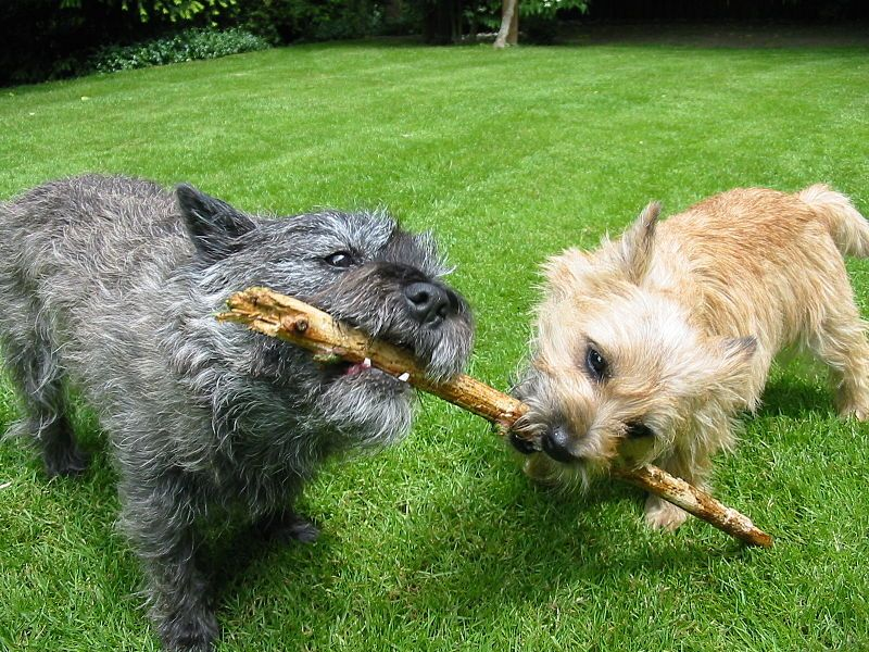 Cairn Terrier Looks Like Rusty On The Right Terrier Dog Breeds