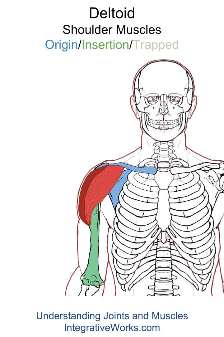 Deltoid – Functional Anatomy | Scapula, Rotator cuff and Lift heavy