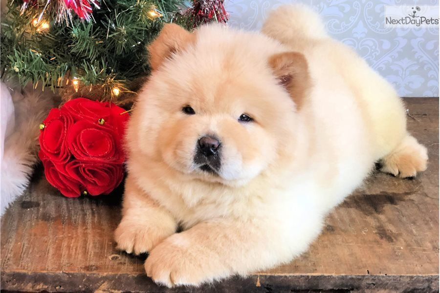 Payson Chow Chow Puppy For Sale Near Los Angeles California
