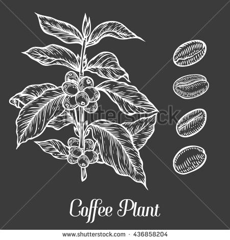Coffee Plant Branch With Leaf Berry Coffee Bean Fruit Seed Natural Organic Caffeine Hand Drawn Sketch Vector Illus Coffee Plant Coffee Flower Coffee Icon