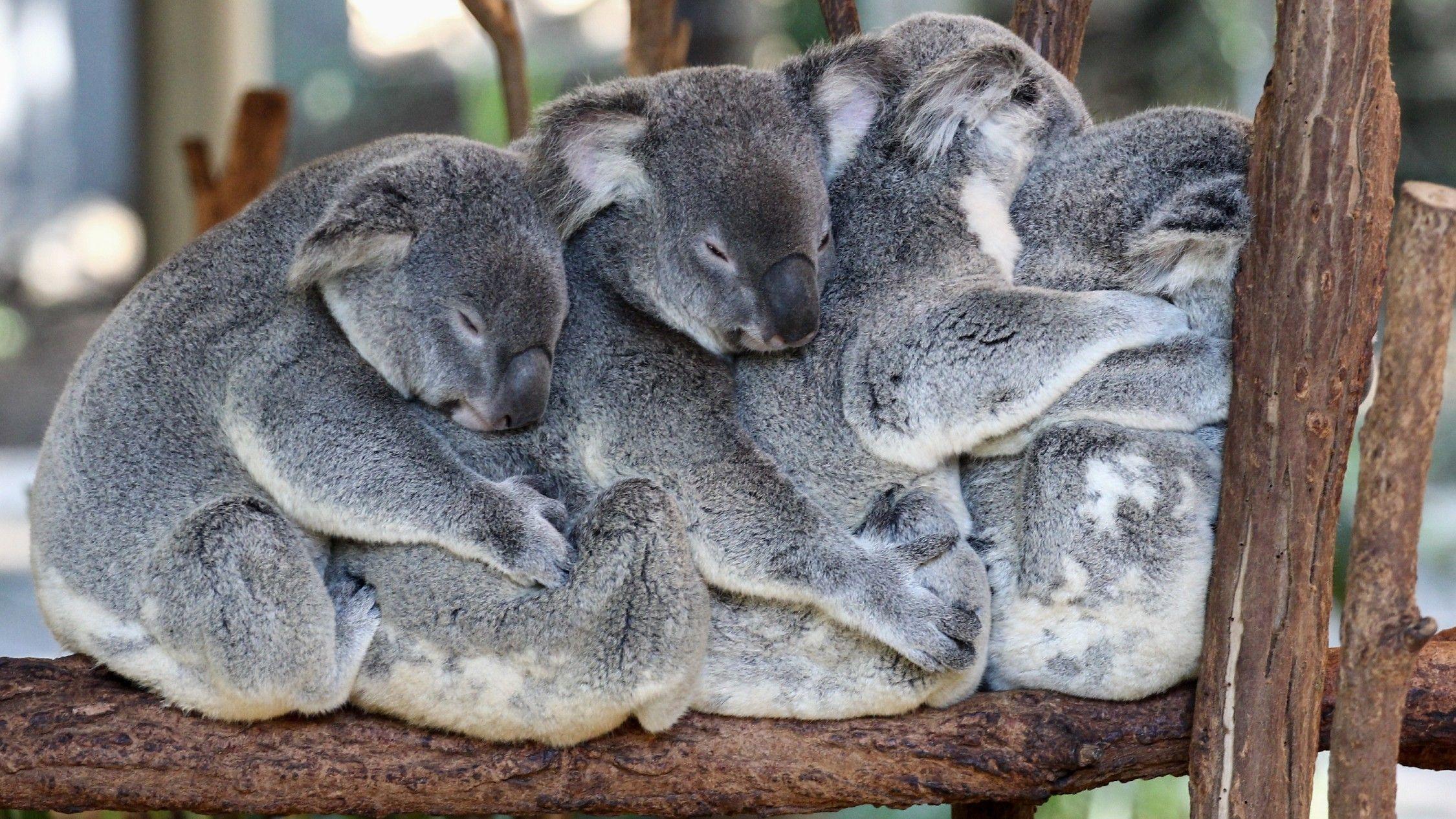 An Australian Zoo Is Running A 24 7 Koala Livestreaming Service In