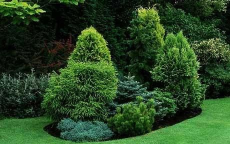 An Island Bed Of Conifers, Junipers And Pine Set In A Lawn   Gardening Week