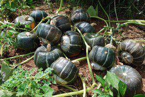 Growing Squash—'Bonbon' Buttercup
