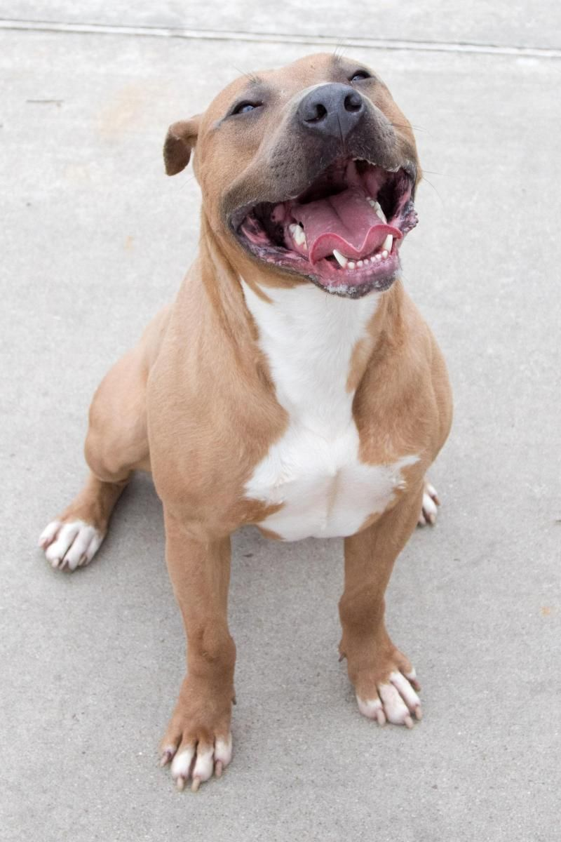 Adopt Neo On Pitbull Adoption Dog Memorial Pitbulls