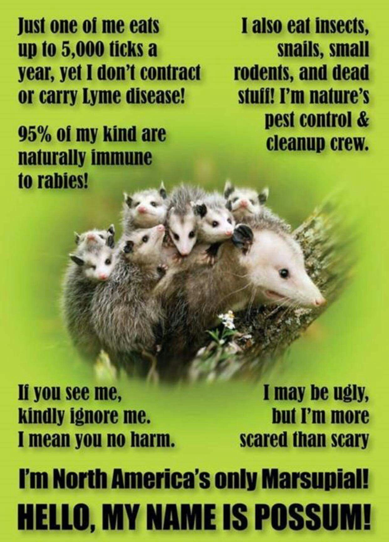 Pin By Pleasant Expressions On Opossums Opossum Possum Facts