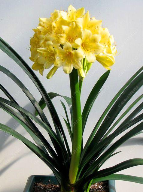 Clivia real bombillas planta de clivia bonsai bulbos de for Planta perenne en maceta de invierno