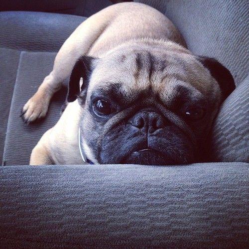 crazedmom: #pugs