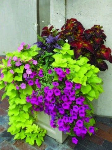 sweet potato vine and what looks like purple wave petunias.LOVE these colors and all so easy to grow! & Love these colors together | Rockford home | Pinterest | Easy ...