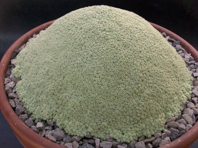 Dionysia tapetodes, Alpine plant society quirky and unusual plants