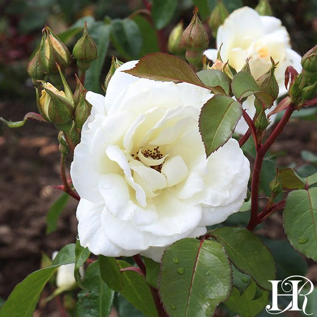 Saratoga Rose - Floribunda - Very Fragrant