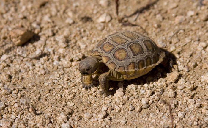 Baby Desert Tortoise! http://tanqueverderanch.com/ | Baby ...