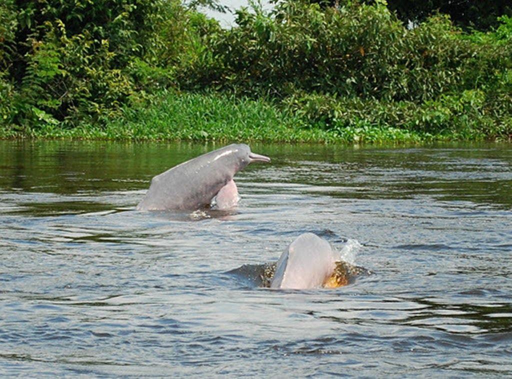 Maravillosos  Mamimeferos tales como Delfines y toninas habitantes de nuestro Río Orinoco