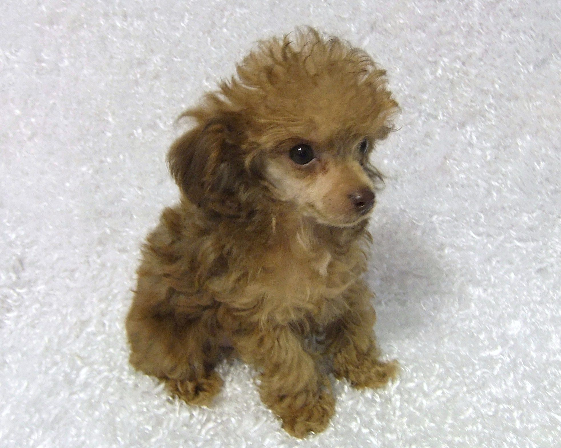 Teacup Poodles Teacup Poodle Puppies Toy Poodle Puppies From