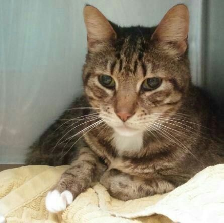 """SOCKS - A1104289 - - Brooklyn  ***TO BE DESTROYED 02/25/17***  SENIOR ALERT!! 15 YEARS OLD!! Socks is an adorable kitty with a slightly """"grumpy old man"""" demeanor that adds to his adorable nature! He was surrendered by his previous owners for having litter box issues, but who can blame a guy at his age? This affectionate kitty has been around a child and a Chihuahua. and was described as gentle, relaxed, and respectful towards them. Take this furry senior guy home today!"""