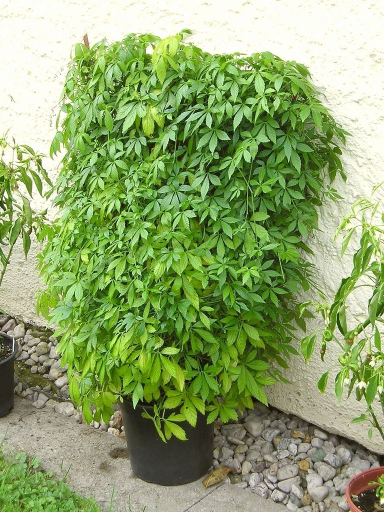 jiaogulan gynostemma pentaphyllum blumenbiene tags plant garden tea pflanze climber creeper. Black Bedroom Furniture Sets. Home Design Ideas