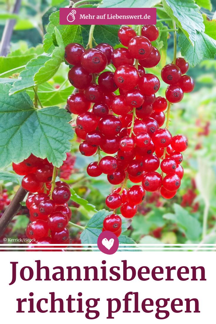 Johannisbeeren pflanzen, pflegen und ernten | Liebenswert Magazin