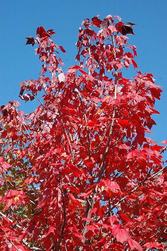 Northwood Red Maple Acer Rubrum Northwood At Gertens Acer Rubrum Red Maple Landscape