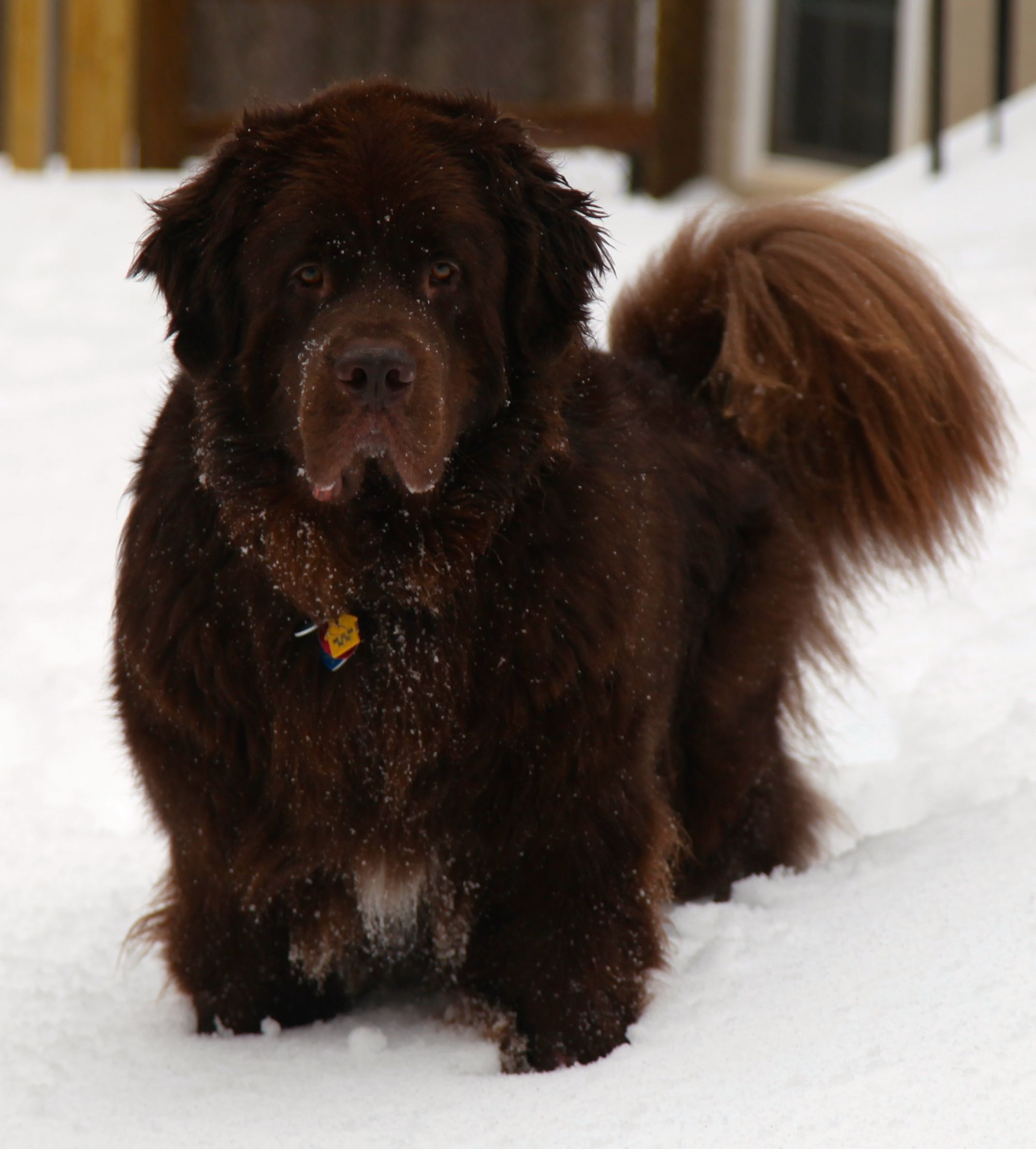 Samson Terre Neuve Pinterest Dog, Animal and Doggies