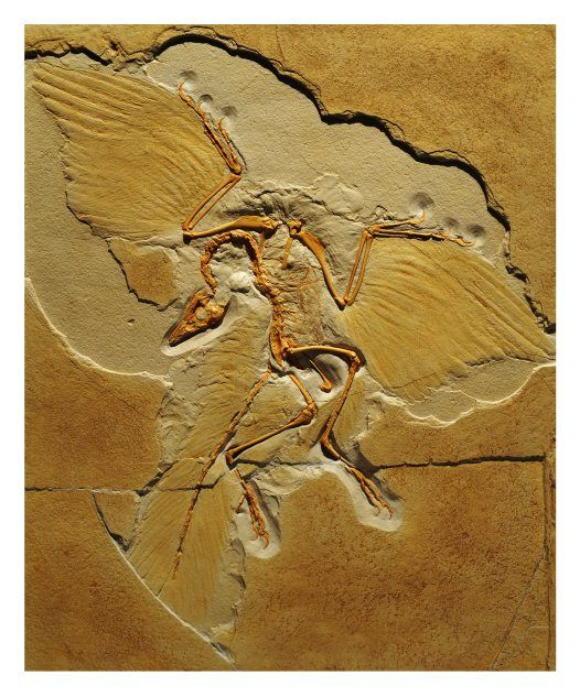 Archaeopteryx, fossil cast