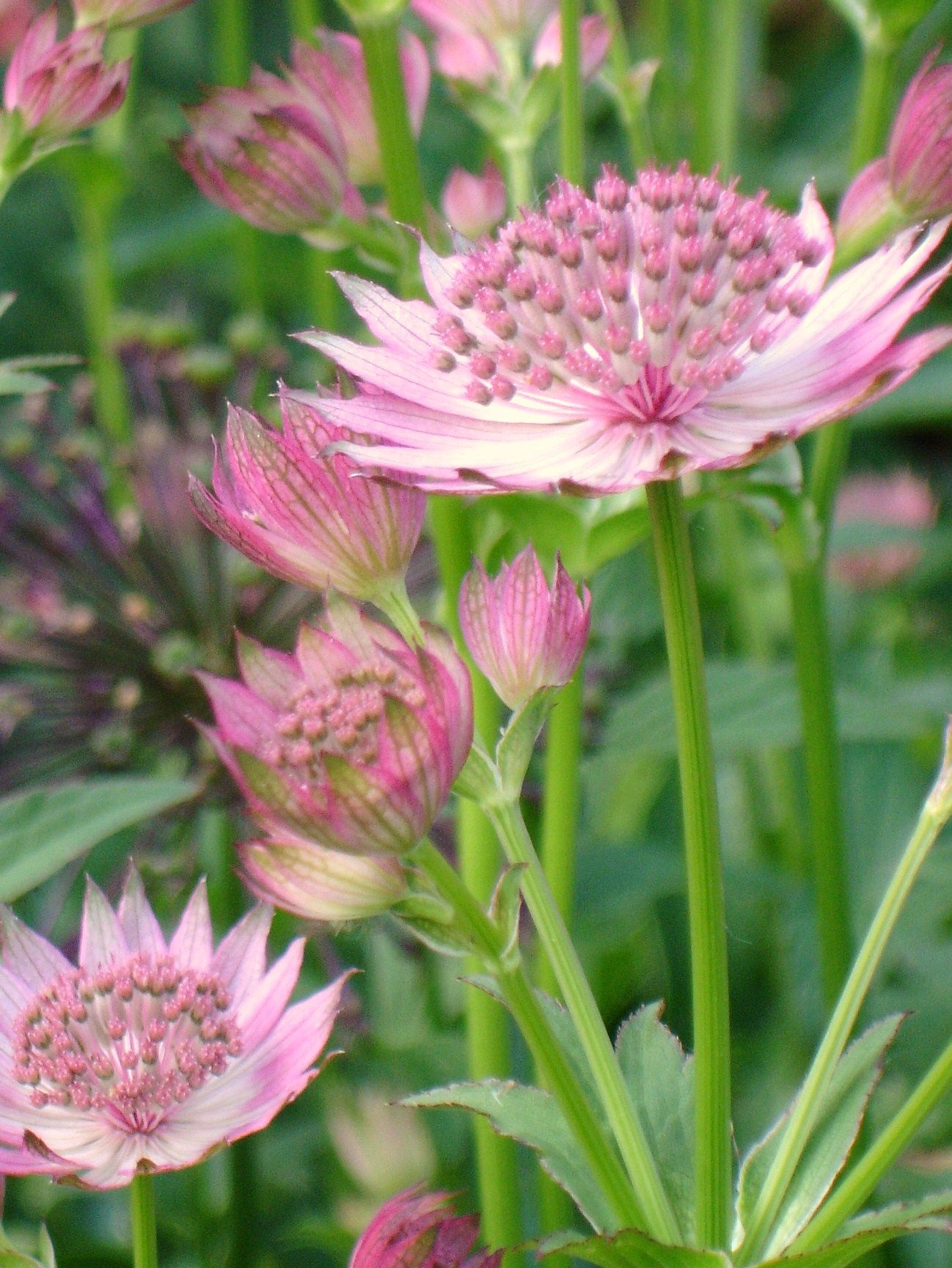 Astrantia Roma Reaching A Height Of 24 Inches With A Long Bloom