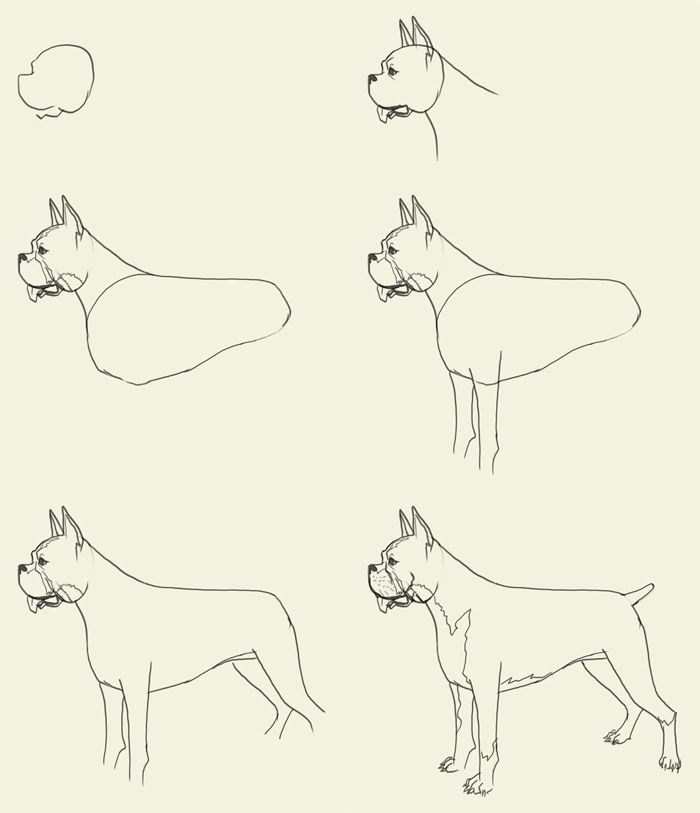 Step By Step Drawing Puppies How To Draw Boxer How To Draw Boxer