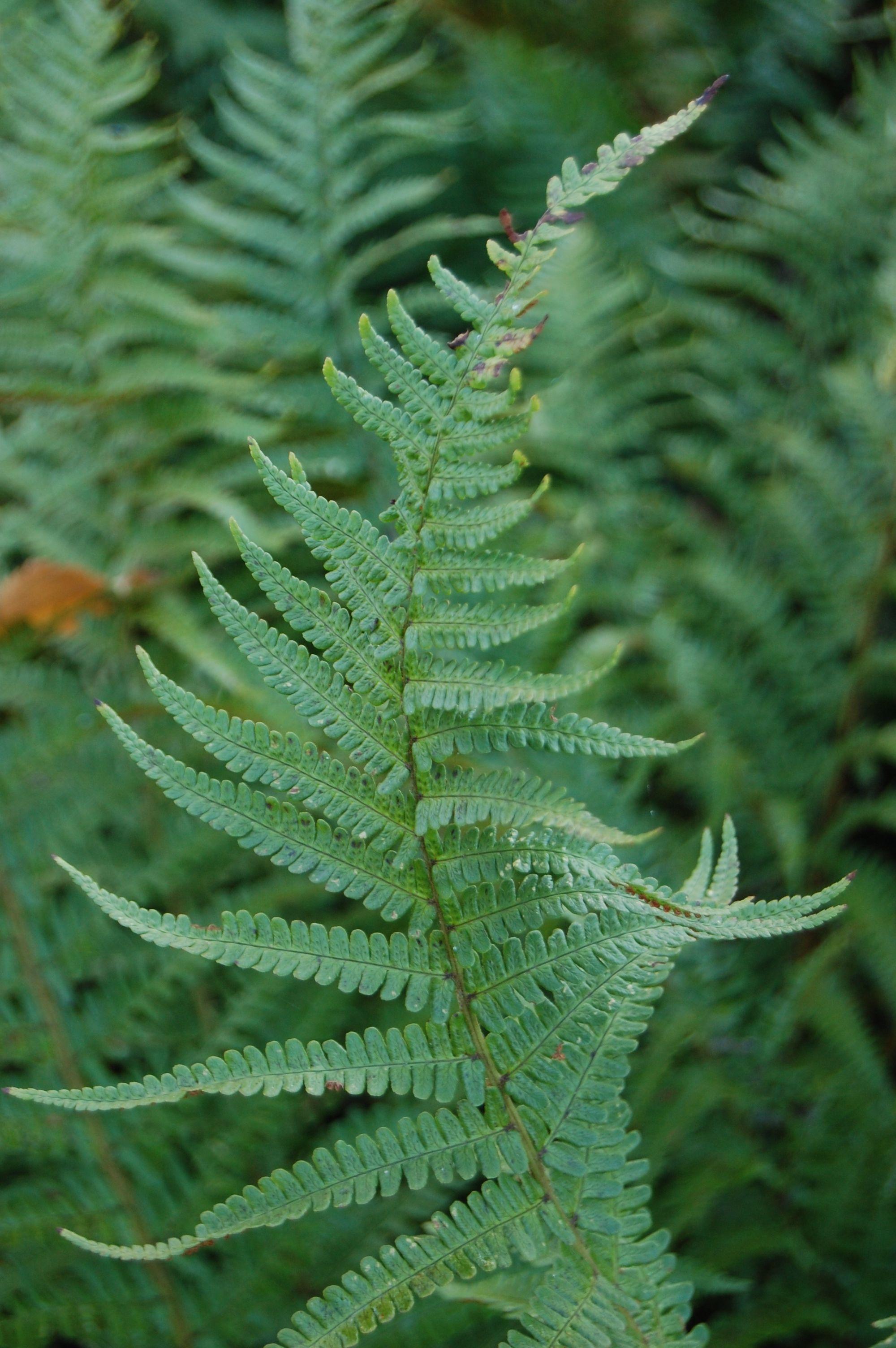 Dryopteris Evergreen Fern Underplanting Evergreen Ferns Plant Leaves Shade Garden
