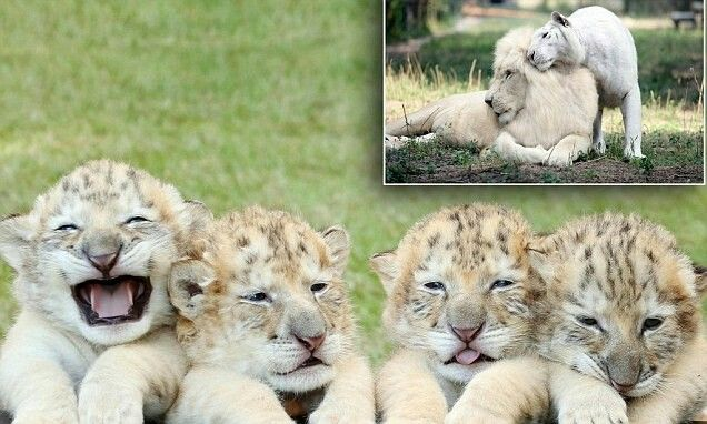Albino Ligers with pic of Mom and Dad