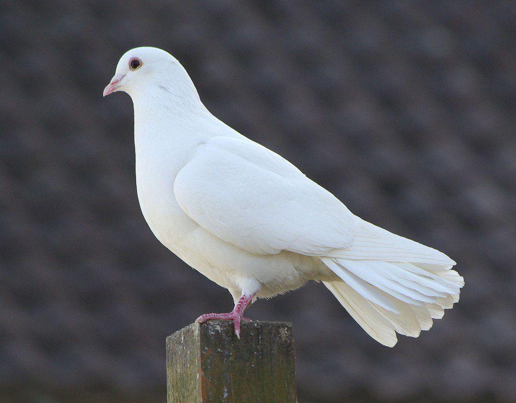 Creepypasta Zodiacs In 2020 Beautiful Bird Wallpaper White Doves Dove Pictures