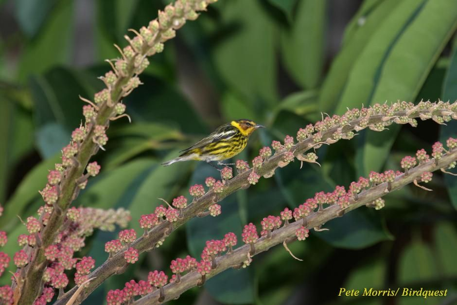 Cape May Warbler (Dendroica tigrina) Side view of perched male.