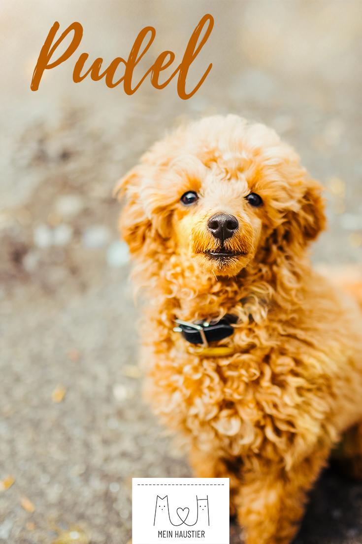 Pudel Steckbrief Hunderassen Hunde Rassen Pudel