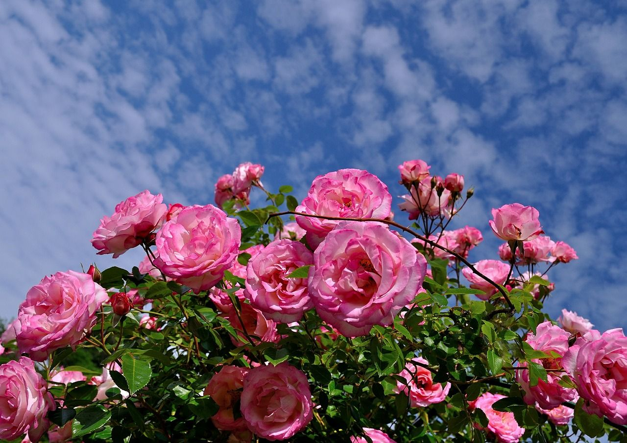 изготавливается фото чайная роза в саду делали