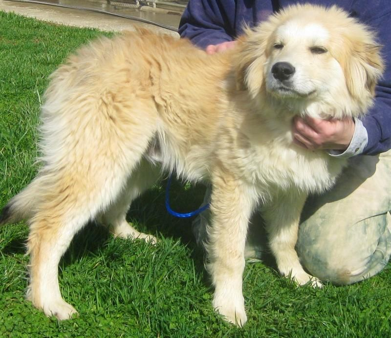 Adopt Guinness On Great Pyrenees Great Pyrenees Dog Puppy Adoption