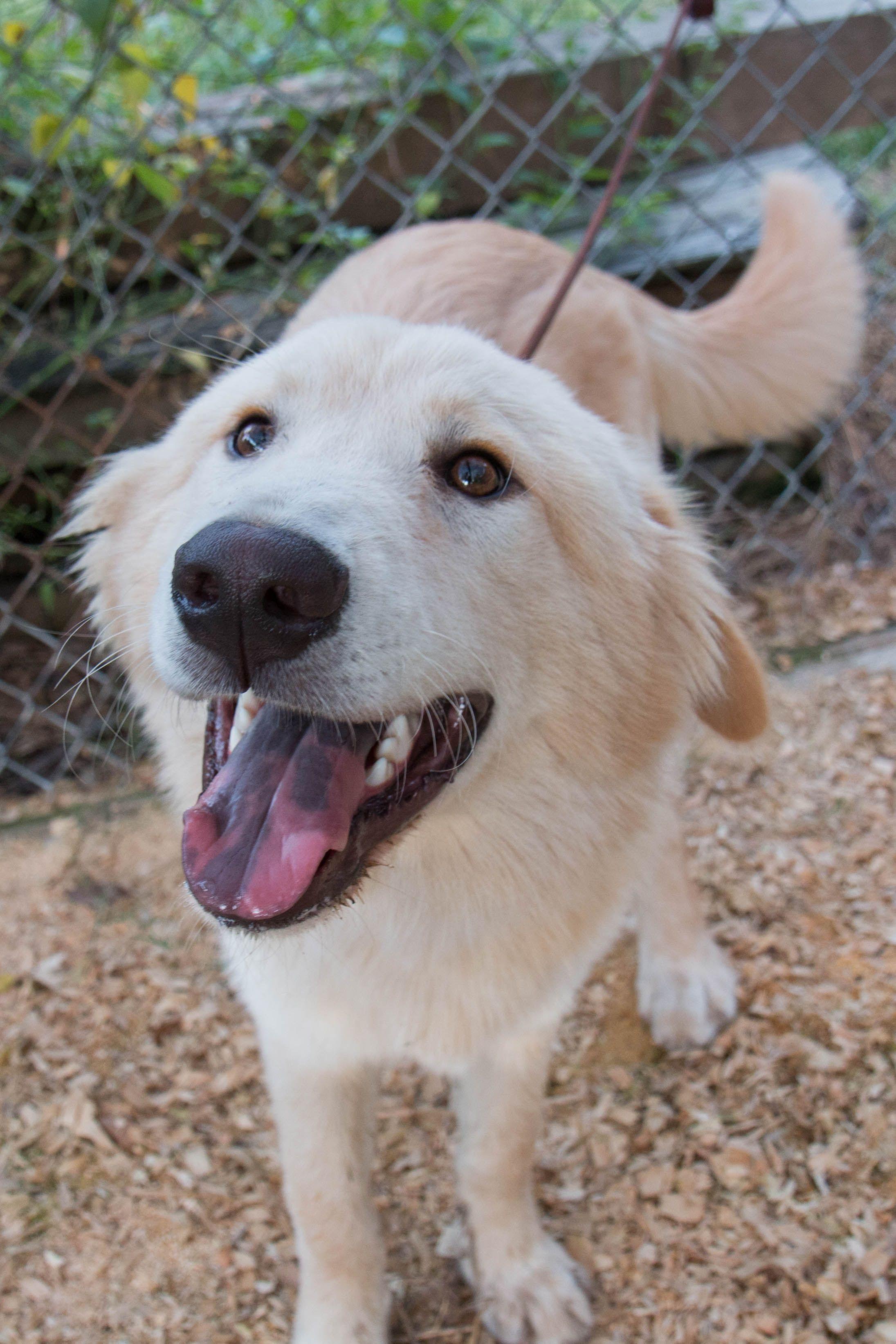 Golden Pyrenees dog for Adoption in Spring, TX. ADN611692