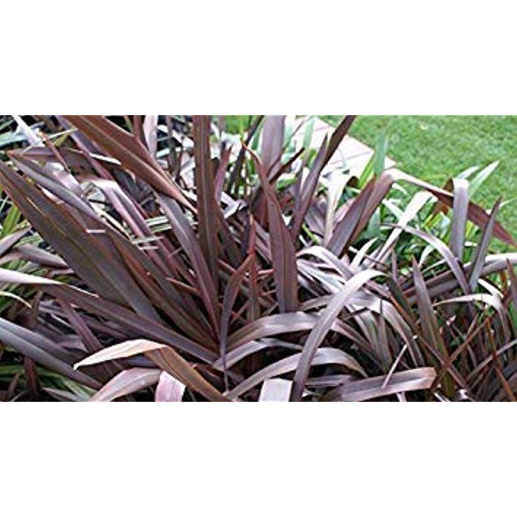 Sanhoc Graines Paquet 200 Graines Fraiches Phormium Purpureumgrass Seeds Avec Images Jardins Graine