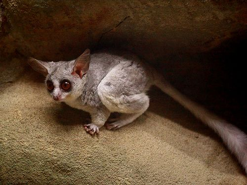 My Dream Pet A Mohol Bushbaby With Images African Wildlife