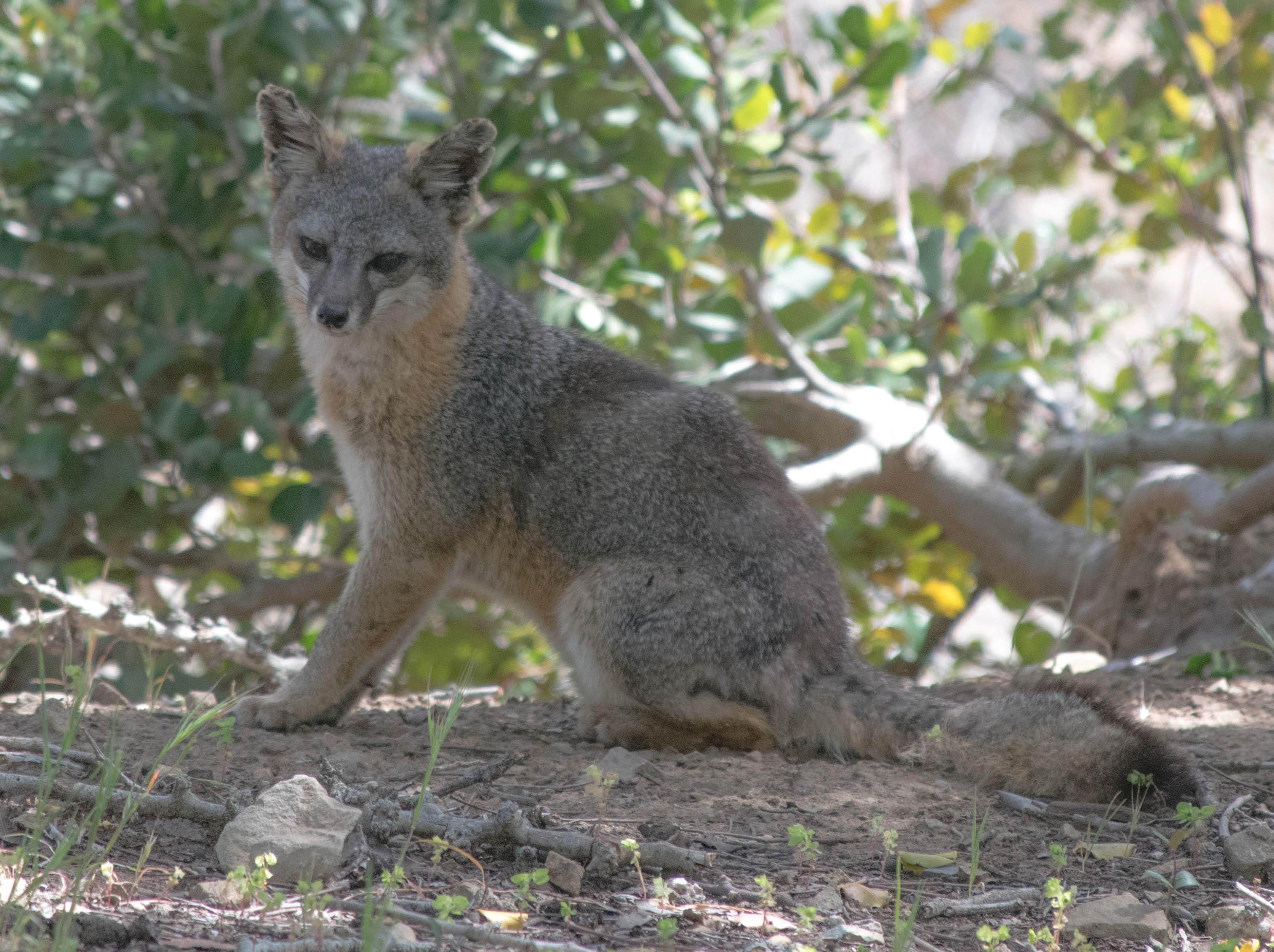 Met a cute little Catalina Island Fox (recently removed