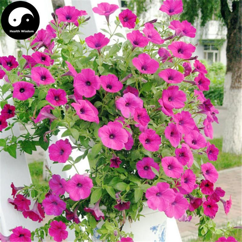 Buy Morning Glory Flower Seeds 60pcs Plant Pink Pharbitis Nil Flower Garden Flower Seeds Flower Garden Flower Seeds Online