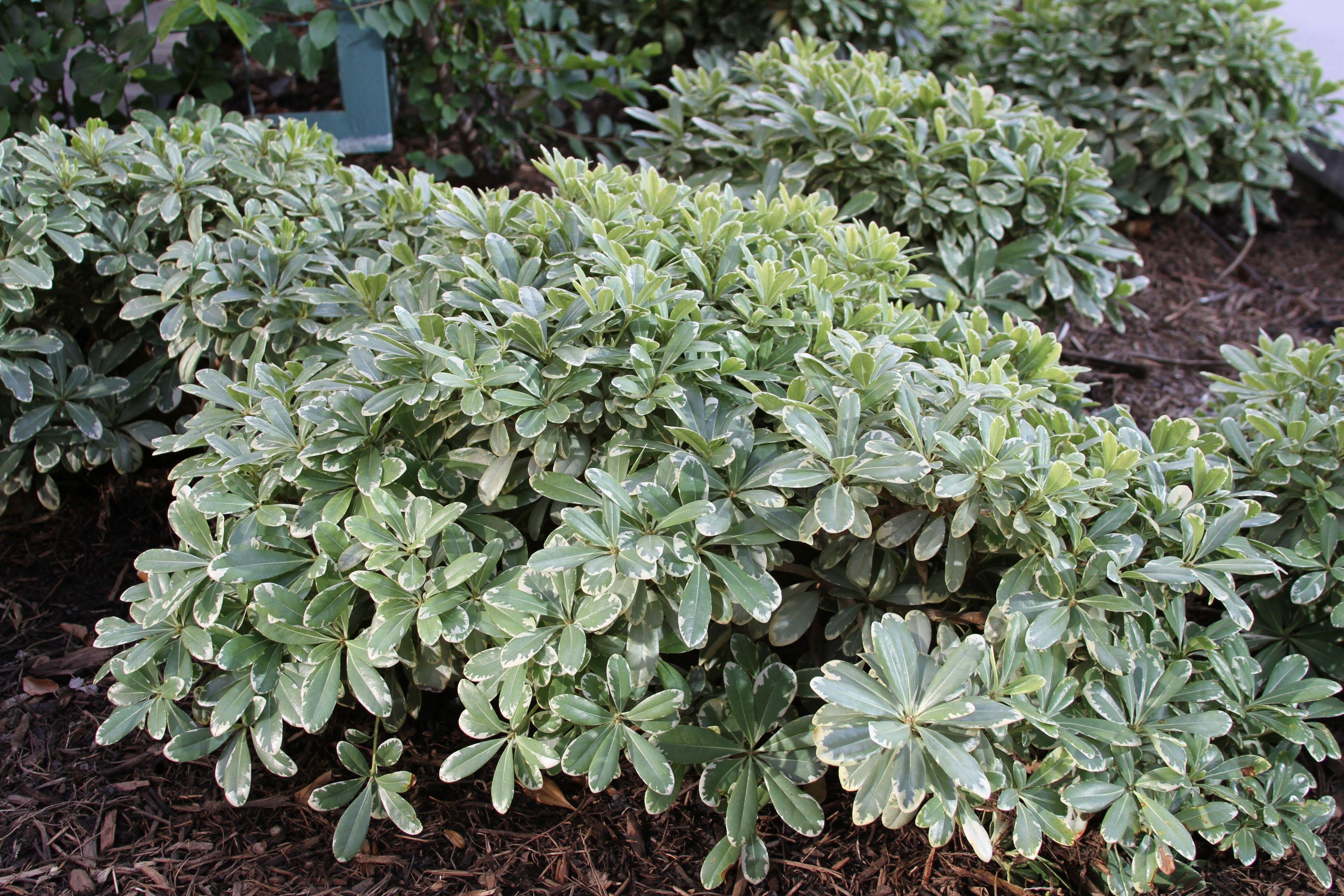 Plant De Menthe En Pot pittosporum tobira 'cream de mint' dwarf mock orange