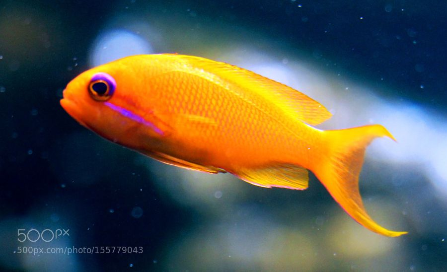 Orange fish by pavelkirvel