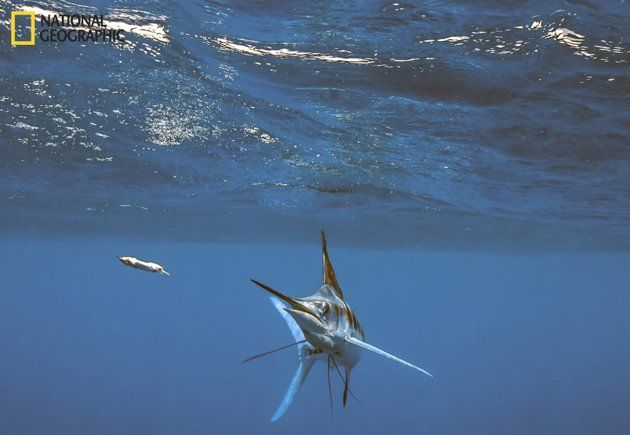 Off the coast of Cancun, a white marlin rose from the ...