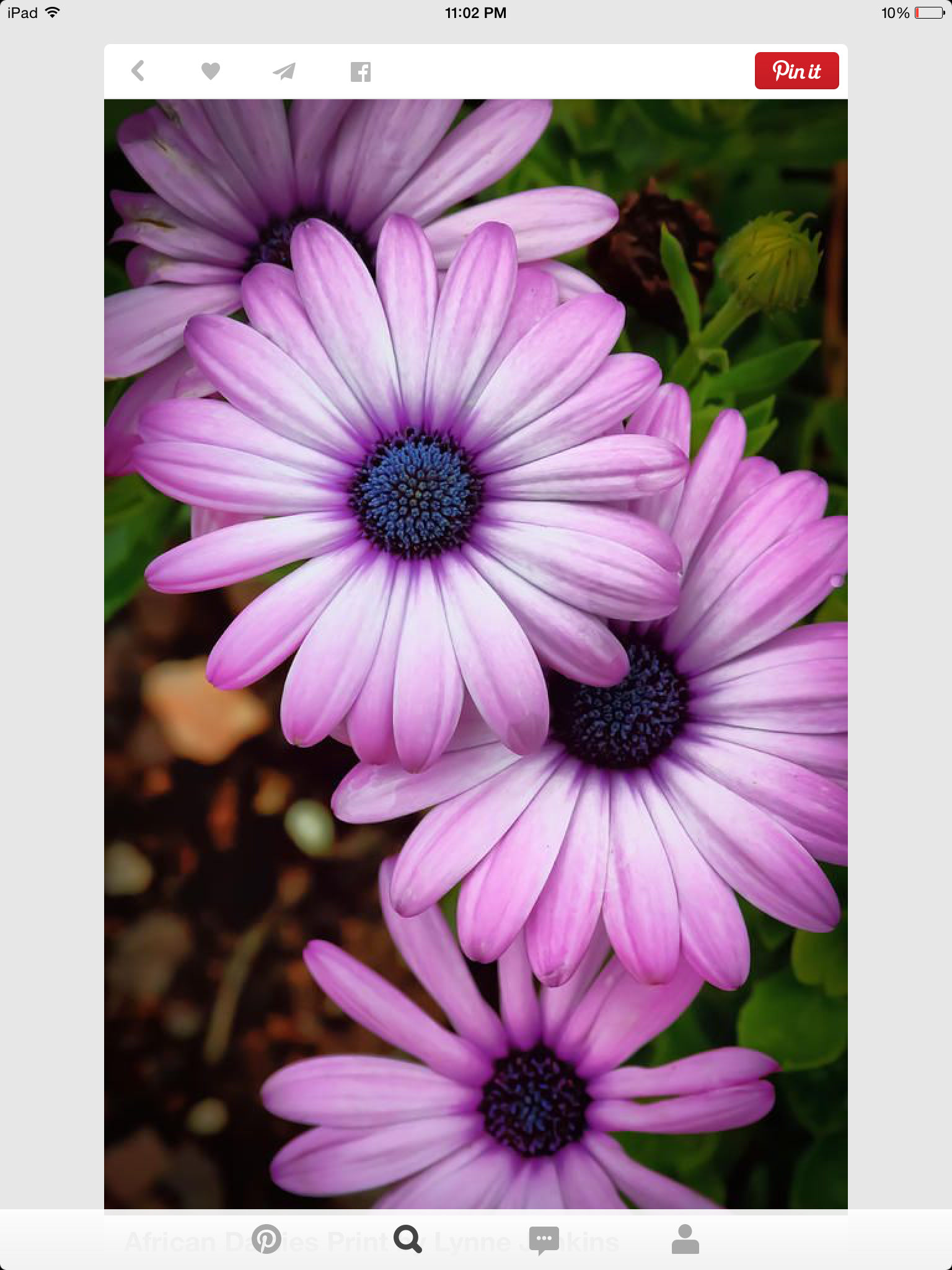 African daisies beautiful flowers pinterest flowers flower african daisies by lynne jenkins african daisies photograph african daisies fine art prints and posters for sale izmirmasajfo Images